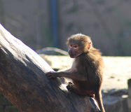 Hamadryas baboon young in tree royalty free stock photography