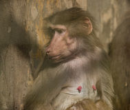 Hamadryas baboon in ZOO Liberec in cold day stock photography