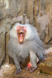 Hamadryas baboon. In the zoo you can find this ape royalty free stock images