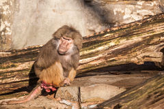 Hamadryas baboon. In the zoo you can find this ape stock photo