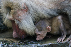 Hamadryas Baboons. A family of Hamadryas Baboons Royalty Free Stock Images