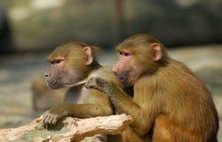 Hamadryas baboons Royalty Free Stock Image
