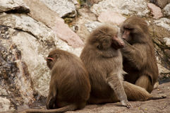 Hamadryas baboons Stock Photography