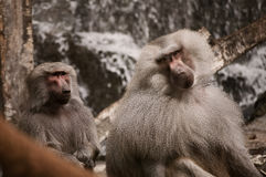 Hamadryas baboons Stock Photo