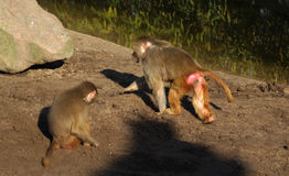Hamadryas baboons Royalty Free Stock Photography