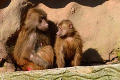 Hamadryas baboons Royalty Free Stock Photo