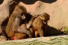 Hamadryas baboons Royalty Free Stock Photography