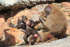 Hamadryas baboons Stock Photos