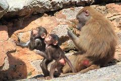 Hamadryas baboons stock photos