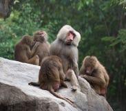 Hamadryas baboons Royalty Free Stock Photos