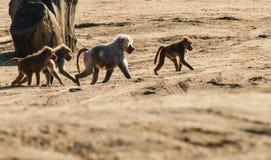 Hamadryas baboons Stock Image
