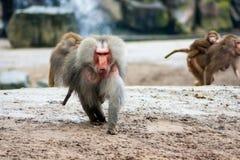 Hamadryas baboons Stock Images
