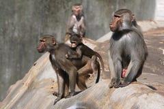 Hamadryas baboons (Papio hamadryas). Stock Photos