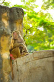 Hamadryas baboons (Papio hamadryas) Royalty Free Stock Photo