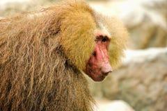 Hamadryas baboons (Papio hamadryas) Royalty Free Stock Photos