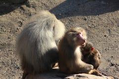 Hamadryas baboons on rock stock photo