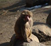 Hamadryas baboons on rock stock image