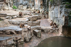 Hamadryas baboons at the Singapore Zoo Stock Photos