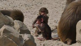 Hamadryas babuino del bebé o hamadryas del papio metrajes