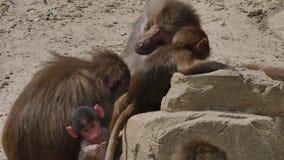 Hamadryas babuino del bebé o hamadryas del papio almacen de metraje de vídeo