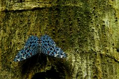 Hamadryas chloe or Chloe Cracker, a stunning blue butterfly with black spots sitting on a tree royalty free stock image
