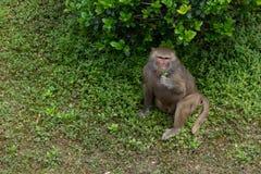 Hamadryas del comer-Papio de la hoja Fotos de archivo