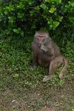Hamadryas del comer-Papio de la hoja Imagen de archivo