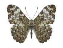 Hamadryas feronia, tropikalny egzotyczny motyl dla kolekci zdjęcie royalty free