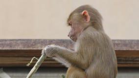 Hamadryas jovenes babuino o hamadryas del papio almacen de video