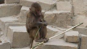 Hamadryas jovenes babuino o hamadryas del papio metrajes