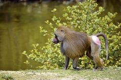 Hamadryas-Pavian, der auf dem Boden geht Lizenzfreie Stockfotos