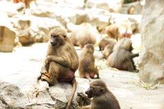 Hamadryas-Pavian, der aus den Grund sitzt Lizenzfreies Stockfoto