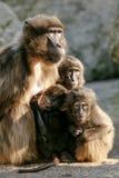 Hamadryas-Pavian Papio hamadryas pavian Abschluss herauf Porträt im Zoo stockfotos