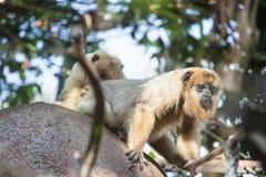 Hamadryas-Pavian Papio hamadryas pavian Abschluss herauf Porträt im Zoo stockbilder
