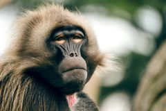 Hamadryas-Pavian Papio hamadryas pavian Abschluss herauf Porträt im Zoo stockbild