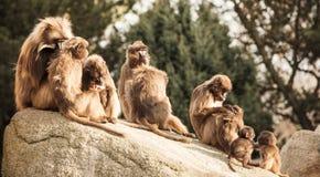 Hamadryas-Pavian Papio hamadryas pavian Abschluss herauf Porträt im Zoo stockfotografie