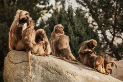 Hamadryas-Pavian Papio hamadryas pavian Abschluss herauf Porträt im Zoo lizenzfreie stockfotografie