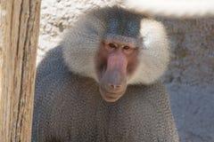 Hamadryas-Pavian Papio hamadryas pavian Abschluss herauf Porträt im Zoo Lizenzfreies Stockbild