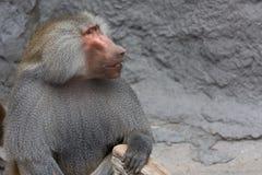 Hamadryas-Pavian Papio hamadryas pavian Abschluss herauf Porträt im Zoo Lizenzfreie Stockbilder