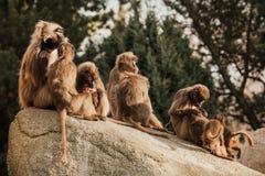 Hamadryas pawianu Papio hamadryas pavian zakończenie w górę portreta w zoo fotografia royalty free