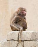 Hamadryas pawiany (Papio hamadryas) Zdjęcie Stock