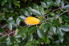 Yellow leaf of hamamelidaceae plant tree close up view with dark green leaves. Hamamelidaceae plant tree leaf leaves close up in garden dark leaf royalty free stock image