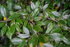 Hamamelidaceae plant tree leaf leaves close up. In garden dark leaf royalty free stock image
