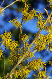 Hamamelis 04 Stock Photos