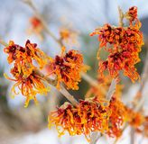 Hamamelis stock photos