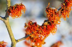 Hamamelis royalty free stock image