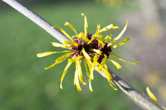 Hamamelis. Stock Images