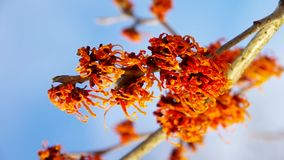 Hamamelis stock video