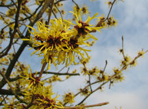 Hamamelis Fotos de Stock