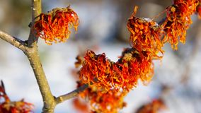 Hamamelis stock video footage